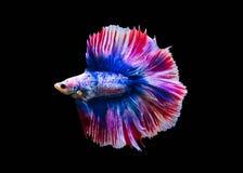 Chwyta poruszającego moment biała siamese bój ryba odizolowywająca na czarnym tle Betta ryba Obrazy Stock