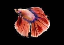 Chwyta poruszającego moment biała siamese bój ryba odizolowywająca na czarnym tle Betta ryba Zdjęcia Royalty Free