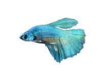 Chwyta poruszającego moment duża uszata siamese bój ryba odizolowywająca na białym tle, Betta Obrazy Royalty Free