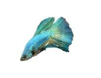 Chwyta poruszającego moment duża uszata siamese bój ryba odizolowywająca na białym tle, Betta Zdjęcia Stock