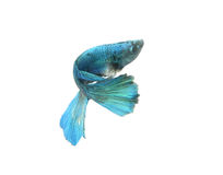 Chwyta poruszającego moment duża uszata siamese bój ryba odizolowywająca na białym tle, Betta Obrazy Stock