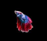 Chwyta poruszającego moment siamese bój ryba Zdjęcia Stock