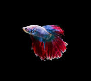 Chwyta poruszającego moment siamese bój ryba Zdjęcie Royalty Free