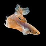 Chwyta poruszającego moment siamese bój ryba Zdjęcia Royalty Free