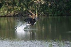chwyta orła ryba haliaeetus s vocifer Obrazy Royalty Free