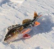 chwyta zamknięte ryba target1589_1_ odizolowywającego smelt w górę biały zima Obraz Royalty Free