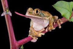 chwytający lata żaba jęzor Zdjęcie Royalty Free
