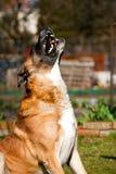 chwytający pies Obrazy Royalty Free