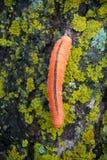 Chwytliwa pomarańczowa gąsienica Sawfly na kamieniu Fotografia Stock