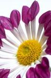 Chysanthemum Image libre de droits