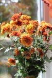 Chysanthemum Fotografía de archivo