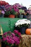 Chysanthemums Fotografía de archivo libre de regalías