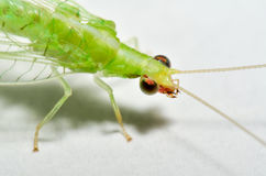 Chysoperla rufilabris green lacewing closeup. Macro view of a green lacewing royalty free stock image