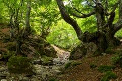Ciñera山毛榉森林,利昂,西班牙 免版税库存照片