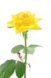 Ciérrese de amarillo se alzó Imagen de archivo