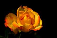 Ciérrese de amarillo se alzó Foto de archivo