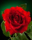 Ciérrese de rojo se alzó Foto de archivo
