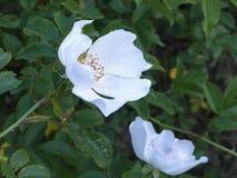 Ciérrese de salvaje blanco se alzó Fotografía de archivo