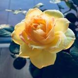 Ciérrese de un amarillo se alzó imagenes de archivo