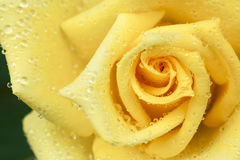 Ciérrese de un amarillo se alzó Imagen de archivo
