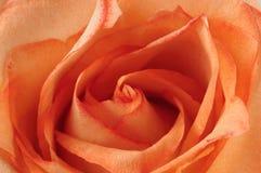 Ciérrese de un rojo se alzó. Foto de archivo libre de regalías
