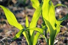 Ciérrese en tallo fresco del maíz fotos de archivo