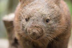 Ciérrese encima alrededor de un wombat común australiano Fotografía de archivo libre de regalías