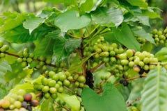 Ciérrese encima de árbol de las plantas del café Imagen de archivo