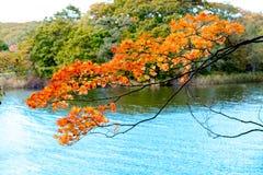 Ciérrese encima de árbol de la rama del arce en la tierra de la parte posterior del lago, hojas de arce anaranjadas en la estació Fotos de archivo libres de regalías