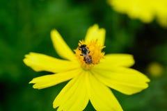 Ciérrese encima de abeja Fotografía de archivo libre de regalías