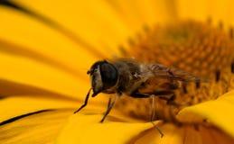 Ciérrese encima de abeja fotografía de archivo