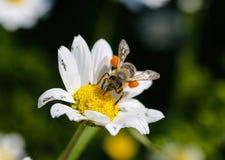 Ciérrese encima de abeja con polen Imágenes de archivo libres de regalías