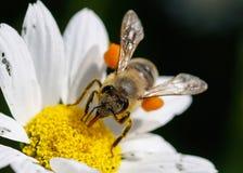 Ciérrese encima de abeja con polen Imagenes de archivo