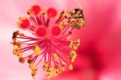 Ciérrese encima de abeja en el estambre Imagenes de archivo