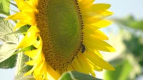 Ciérrese encima de abeja en el girasol almacen de metraje de vídeo