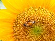Ciérrese encima de abeja en el girasol Fotos de archivo