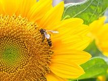 Ciérrese encima de abeja en el girasol Foto de archivo