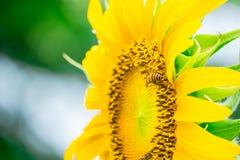 Ciérrese encima de abeja en el girasol Imágenes de archivo libres de regalías