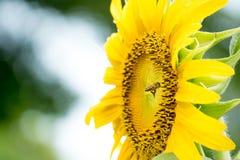 Ciérrese encima de abeja en el girasol Imagen de archivo