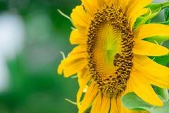 Ciérrese encima de abeja en el girasol Fotografía de archivo