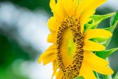 Ciérrese encima de abeja en el girasol Foto de archivo libre de regalías