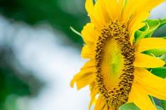 Ciérrese encima de abeja en el girasol Imagen de archivo libre de regalías