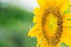 Ciérrese encima de abeja en el girasol Imagenes de archivo
