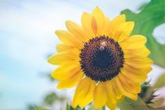 Ciérrese encima de abeja en el girasol floreciente en jardín Foto de archivo libre de regalías