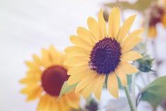 Ciérrese encima de abeja en el girasol floreciente en jardín Imagenes de archivo