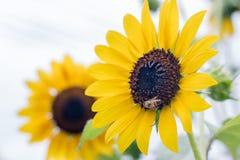 Ciérrese encima de abeja en el girasol floreciente en jardín Imágenes de archivo libres de regalías