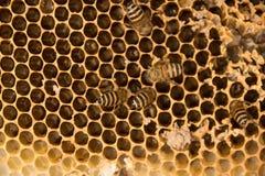 Ciérrese encima de abeja en el panal amarillo ocupado Foto de archivo libre de regalías