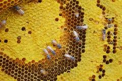 Ciérrese encima de abeja en fondo del panal Imagen de archivo libre de regalías