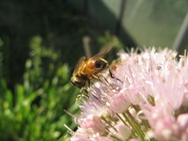 Ciérrese encima de abeja en la flor Fotografía de archivo libre de regalías