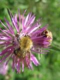 Ciérrese encima de abeja en la flor Imagenes de archivo